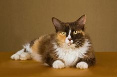 Elegant and athletic, the active LaPerm is also an excellent lap cat with an affectionate, gregarious, and inquisitive nature. Learn more about this cat breed here: http://www.petguide.com/breeds/cat/laperm/