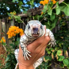 🔥Click the image to see more. We are currently looking for an adult male blue tegu to join our breeding projects. If you can help or point us towards the right direction, please let us know! Tegu Lizard, Lizard Species, Human Babies, Art Watch, Hooded Blanket, Reptiles And Amphibians, Lizards, South America, Terrarium