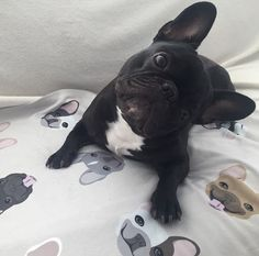 French Bulldog, on a blanket from the Frenchie Store, www.thefrenchiestore.com