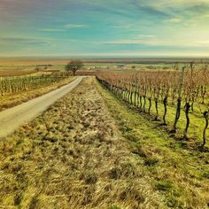 late autumn in the vineyard, Lake Neusiedl, Burgenland, Austria. Photo: Chris R… Autumn Photography, Art Photography, Beautiful Places, Beautiful Pictures, World Photo, Austria, Vineyard, Around The Worlds, Late Autumn