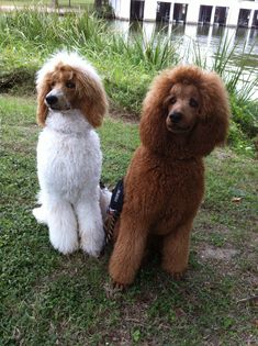 Standard Poodles ~ Beautiful Poodle BoyZ! Lyric & BeBop on White Rock Lake, Dallas