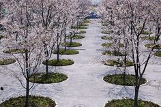 Cherry Blossom Garden - Sakura Hiroba by Tadao Ando