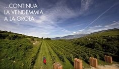 The harvest continues at the La Grola Vineyard.
