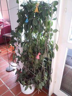 Wachsblume auf 120cm Rankgitter mit Übertopf
