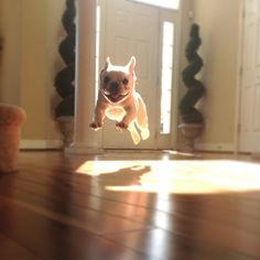 French bulldog jump