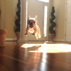 French bulldog airborne @Maria Canavello Mrasek Canavello Mrasek Canavello Mrasek Henderson Gatzow