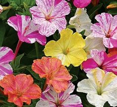 Browse bedding flower seeds and plants for beautiful blooms for annual flower gardens of all sizes. Grow annual flowers from with affordable seed or plants from Burpee. Annual Flowers, All Flowers, Beautiful Flowers, Indoor Flowers, Spring Flowers, Ground Cover Seeds, Coral Bells Heuchera, Organic Gardening Magazine, Hibiscus