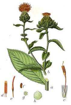 Färberdistel (Carthamus tinctorius)
