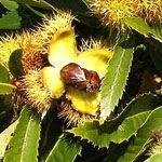 Notenboom 'Kastanje 'Dorée de Lyon'', veel vruchten, grote vruchten,  In een pot van 1 m³ kan je er ook een grote bonsai van maken.