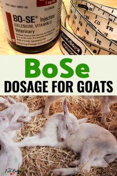 BoSe is a supplement given to goats to treat selenium & prevent deficiency. Learn the correct BoSe dosage for goats & how to give the supplement correctly. Raising Farm Animals, Raising Goats, Selenium Deficiency, Pigmy Goats, Breeding Goats, Muscle Diseases, Goat Barn, Goat Farming, Thyroid Health