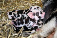 101 Dalmatie piggies