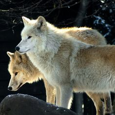 Two young wolves by Steppeland. Now available on more than 30 Redbubble products like Apparel, Cases and Skins, Wall Art, Home Decor, Bags, Stationary and more -