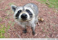Por qué los mapaches también molan como mascota #mapache #raccoon #rakoon #mapache #animal #humor