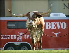 Texas Longhorns - mascot Bevo