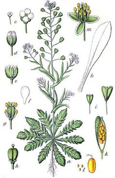 Welcome to HomeGrown Herbalist, based in Idaho, we offer excellent herbal products and education. Learn to grow, prepare, and use Medicinal Plants. Purchase the best Herbal Remedies and medicinal botanical products. Healing Herbs, Medicinal Plants, Aromatic Herbs, Botanical Illustration, Botanical Prints, Edible Wild Plants, Plant Identification, Wild Edibles, Desert Plants