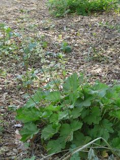 Heuchera maxima, Island Alum Root, grows excellently under Quercus agrifolia, in oak leaf mulch, as shown in this photo with Sanicula crassicaulis.