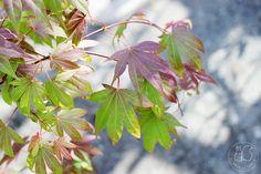 Oravankesäpesä | Japaninverivaahtera Acer palmatum 'Atropurpureum'