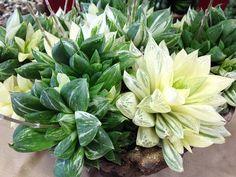 Haworthia cuspidata variegata  Orange County Cactus and Succulent Society Spring…