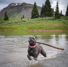 The traits we all admire about the Loving Big Mastiff Dogs Cane Corso Italian Mastiff, Cane Corso Mastiff, Cane Corso Dog, Mastiff Breeds, Mastiff Dogs, Giant Dog Breeds, Giant Dogs, Love Pet, I Love Dogs