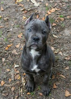 cane corso dog Cane Corso Pup Dog S Cane Corso Pup - dog Chien Cane Corso, Cane Corso Dog, Cane Corso Puppies, Cane Corso Italian Mastiff, Cane Corso Mastiff, Animals And Pets, Baby Animals, Cute Animals, Cute Dogs Breeds