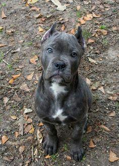Cane Corso pup ♡                                                                                                                                                     More