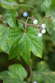 Ampelopsis brevipedunculata (Porcelain Berry, Amur Peppervine, Porcelain-berry)