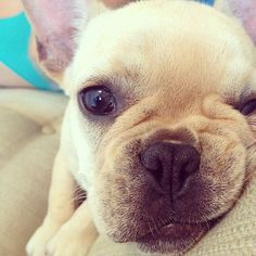 Photo from the Instacanvas gallery of frenchiedarla. #frenchbulldog