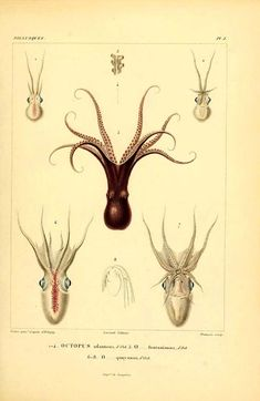 octopus atlanticus, octopus fontanianus, octopus quoyanus - high resolution image from old book. Octopus Illustration, Science Illustration, Antique Illustration, Nature Illustration, Octopus Anatomy, Octopus Species, Octopus Drawing, Scientific Drawing, Especie Animal