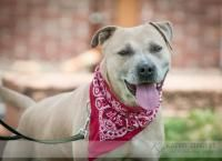 Petango.com – Meet Rocky, a 4 years 4 months Terrier, American Pit Bull / Mix available for adoption in MOUNT JULIET, TN