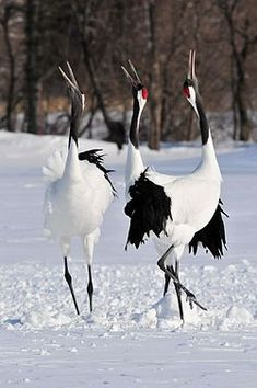 Japanse_kraanvogels_in_Akan_International_Crane_Centre-24_februari_2012_
