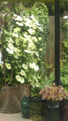 Clematis Guernsey. Cream in full bloom