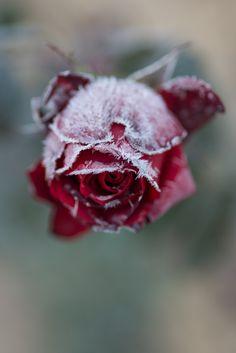 Photograph Frozed rose by Kishida Koji on 500px