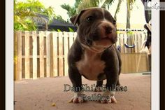 I am a cute American Bully puppy, looking for a home on NextDayPets.com!