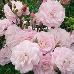 Easy Elegance Head Over Heels Rose....hardy shrub rose blooms with many fluffy flowers...zone 4.