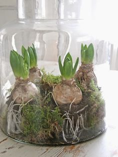 this is so lovely, will definitely try it out. Would think paper whites and tulip bulbs would look great too by goosebird Indoor Garden, Garden Plants, Indoor Plants, Outdoor Gardens, Planting Bulbs, Planting Flowers, Inside Garden, Deco Nature, Tulip Bulbs