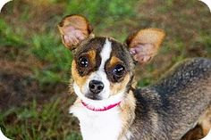 Howell, MI - Chihuahua/Yorkie, Yorkshire Terrier Mix. Meet Sadie, a dog for adoption. http://www.adoptapet.com/pet/11372714-howell-michigan-chihuahua-mix