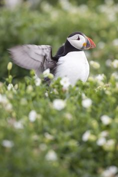 BBC Blogs - Winterwatch - Peering at puffins and other seabirds on the Yorkshire coast