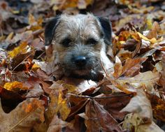Typical Border Terrier