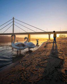Swans on the shore of the Danube (photo by Ilija Gajinov) Novi Sad, Swans, Travel Destinations, Bucket, Europe, Urban, City, Places, Pictures