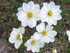 202 best flores nacionais de cada país national flowers by country