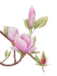 Magnolia x soulangeana © Barbara Munro SBA