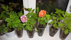 Egy tő petúniából akár 10 palántád is lehet! Ha ezt kipróbálod, fillérekből lehet számtalan virágod! - Bidista.com - A TippLista! Plants, Gardening, Garten, Planters, Lawn And Garden, Garden, Plant, Planting, Square Foot Gardening