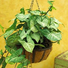 Arrowhead vine Get detailed growing information on this plant and hundreds more in BHG's Plant Encyclopedia.