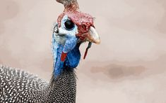 Como criar galinha d'angola