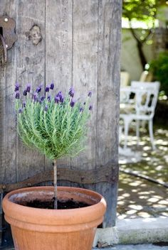 Lavender topiaries!! Try spanish/french types of lavender for this.