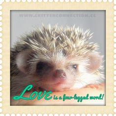 #millermeade #breeder #hedgie #hedgehog #adorable #cute #fourlegged #love     www.critterconnection.cc