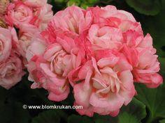 Geranium Denise - Rose Bud kukkaruukku