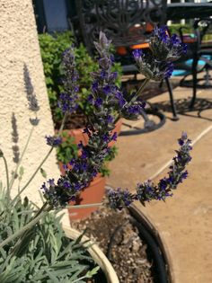 #Lavender Have put in a few lavender plants this year and their doing great in the desert - https://www.pinterest.com/tararayburn/