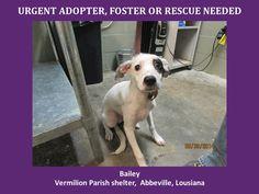 Bailey rat terrier jack russell 070114