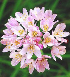 Allium Bulbs (Small) - Roseum - Bag of 25 Eden Brothers Bulbs For Sale, Planting Bulbs, Plants, Bulb Flowers, Perennials, Allium, Summer Flowers To Plant, Onion Flower, Fall Plants